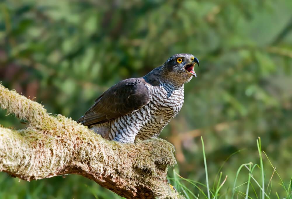 kraguj ptica
